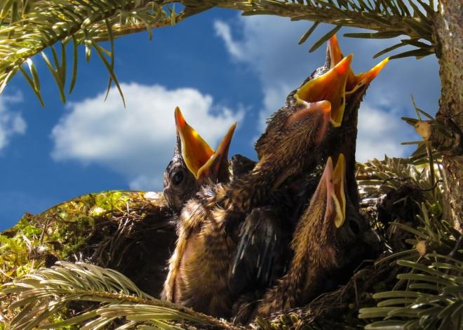bird-blackbird-nest-hatching